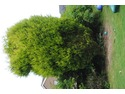 Trim Very large connifers x 2. Trim bushes, remove shed
