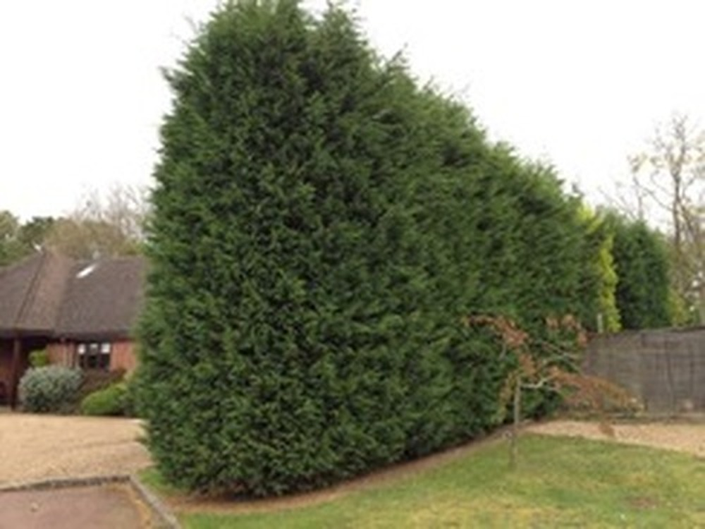 Tall Hedge Needs Cutting Down In Size Tree Surgery Job